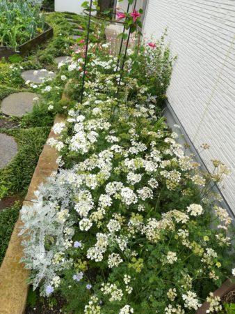 ホワイトレースの花